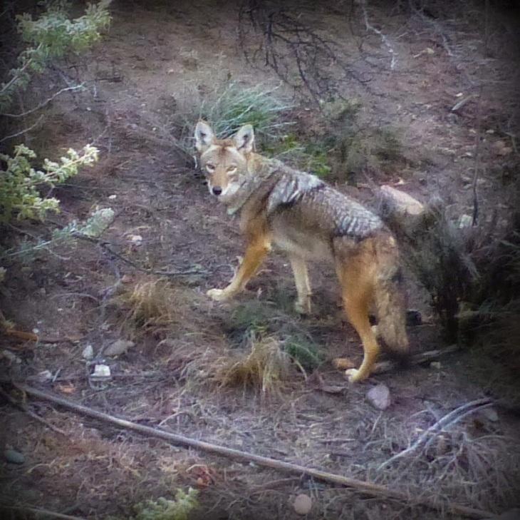Coyote-looks-back